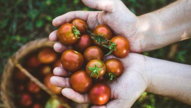 Les effets protecteurs de la tomate contre le cancer pourraient diminuer s'ils sont associés à trop de fer