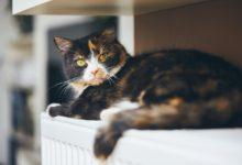 Photo of Coronavirus : un chat testé positif au covid-19 en Belgique
