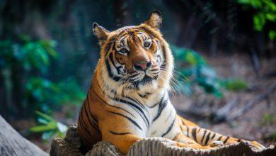 Photo of Coronavirus : Un tigre d'un zoo de New-York testé positif au covid-19